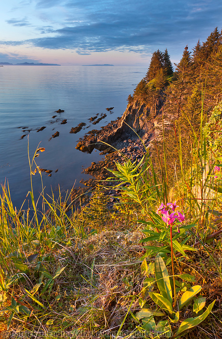 Shooting star wildflower along the coastal shores of Fort Ambercrombie state historical park on Kodiak Island, Alaska