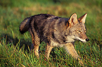 Coyote (Canis latrans) walking across moist meadow.  Sept.