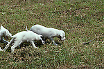 English setter puppies pointing bird wing, hunting