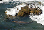 Bull elephant seal swimming