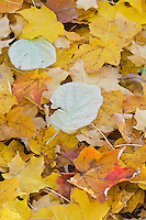 Leaf patterns abound in the fall in Illinois Canyon is Starved Rock State Park, LaSalle County, Illinois