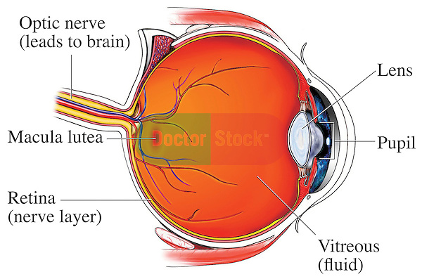 This medical exhibit pictures the normal anatomy of the eye from a mid-line cut-away view. Labeled structures include the optic nerve, macula lutea, retina (nerve layer), lens, pupil and vitreous (fluid).