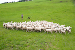 New Zealand, North Island, near Wellington, sheep dogs herd sheep near The Wool Shed in Wairarapa. Photo copyright Lee Foster. Photo # newzealand125816