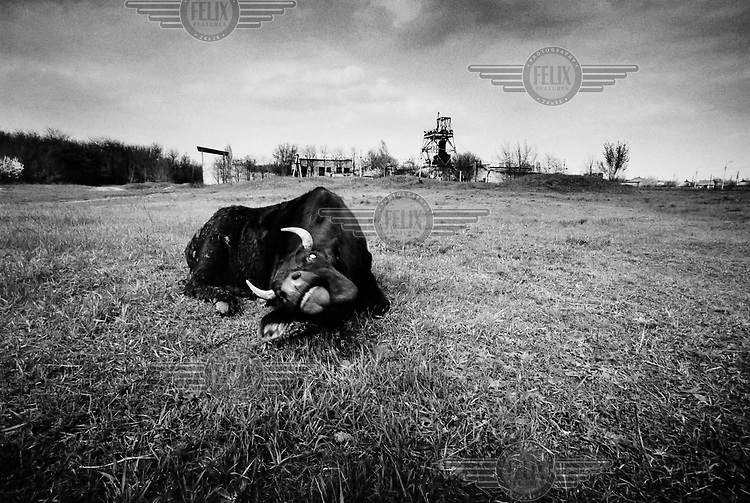 A cow grazing near a coal mine.