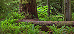 Vancouver Island, British Columbia, Canada: Cathedral Grove of old Growth forest, MacMillan Provincial Park