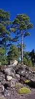 Europe/Espagne/Iles Canaries/Tenerife/Parc National de Téide: Les pins canariens poussent dans la lave et les roches volcaniques