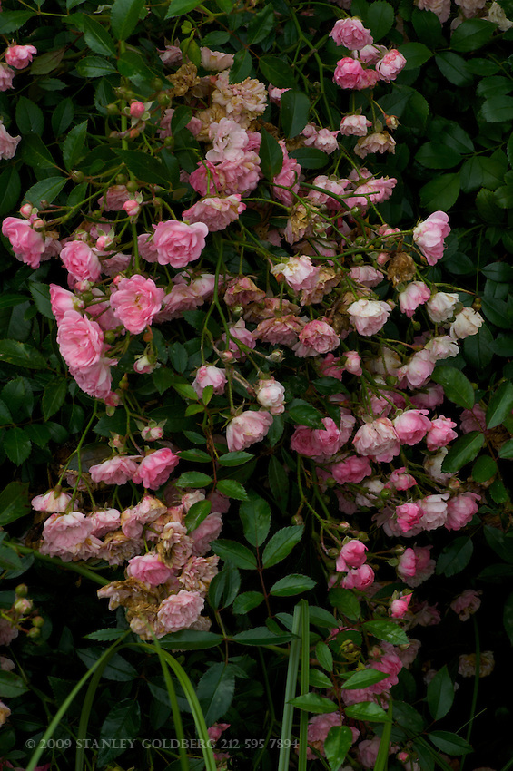 Cluster of Baby Pink Roses