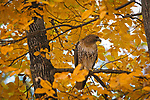 A Red-tailed hawk is spotted outside of the Duke Law School on Monday.