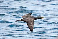 Double-Crested Cormorant, Loreto, Baja Sur, Mexico