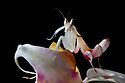 Malaysian Orchid Mantis {Hymenopus coronatus} camouflaged on an orchid where it waits to ambush its insect prey. Captive. Originating from Malaysia. website