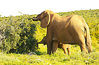 Port Elizabeth, South Africa (Sunday, July 17, 2011) -Elephant cow with calf.  Addo Elephant National Park. The park is a sanctuary to a multitude of game species and abundant birdlife including over 500 Elephants, Lions, Black Rhinos, Buffalos, Leopards and Zebra.  Photo: joliphotos.com