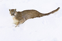 Young Puma lying on the side of a snowy hill - CA