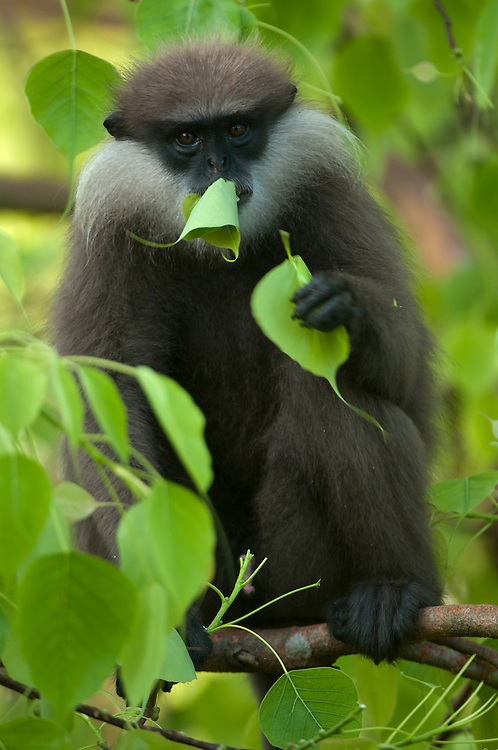 A purple faced langur feeds on the leaves of a ficus religiosa tree. Archaeological reserve, Polonnaruwa, Sri Lanka. IUCN Red List Classification: Endangered