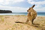 Eastern Grey Kangaroo (Macropus giganteus) joey on beach, Pebbly Beach, Murramarang National Park, New South Wales, Australia