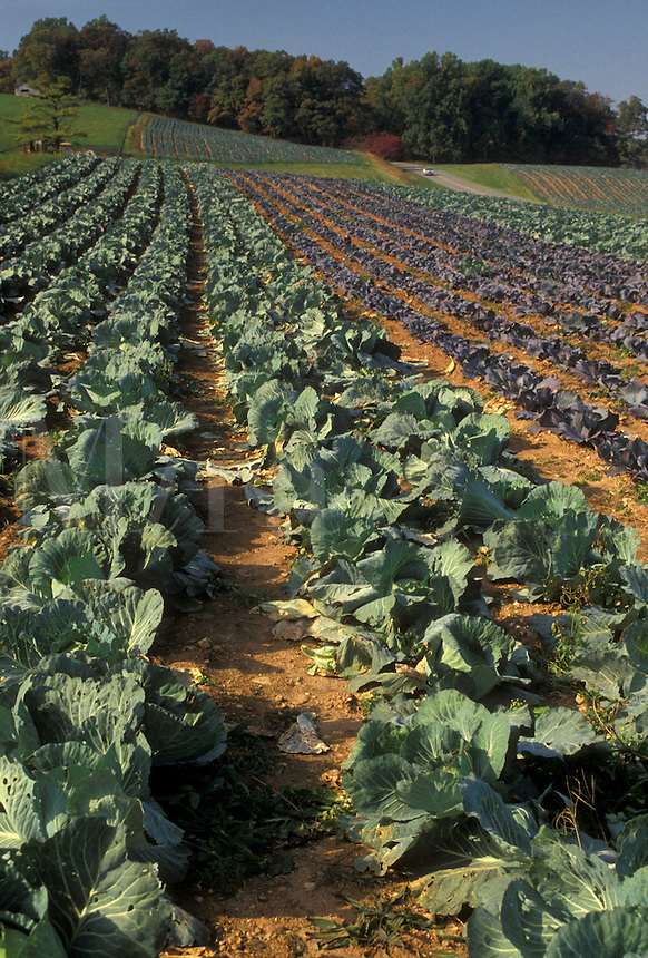 AJ4495, cabbage, produce, Virginia, Blue Ridge, Appalachian Mountains, Field of cabbage on a farm along the Blue Ridge Parkway in the state of North Carolina.