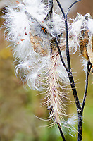 The seed pods of the Milkweed open tyo let the winds scatter its seeds to the land at Ryerson Woods Conservation Area in Lake County, Illinois