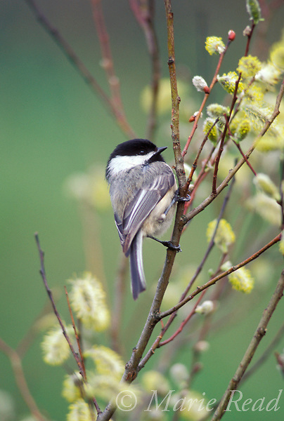 Black-capped Chickadee (Poecile atricapilla) perched amidst pussy-willow catkins in spring, New York, USA.<br /> Slide # B123-184