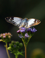 Female laviana white-skipper