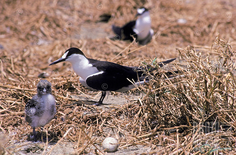 Sooty Terns with baby chick and a single camouflaged egg that they lay directly on the ground, Rabbit Island