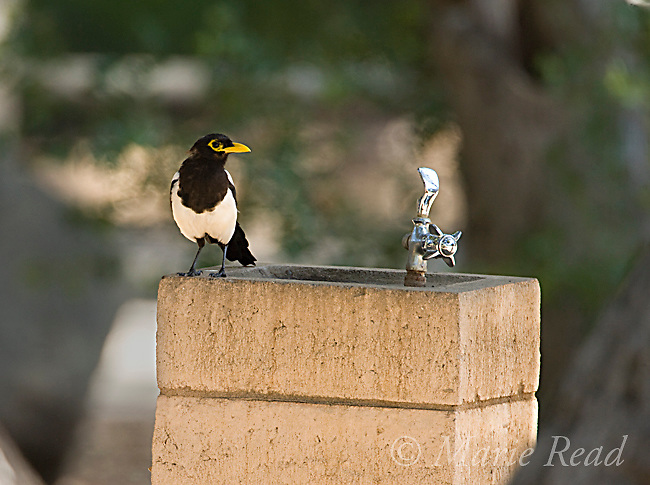 Yellow-billed Magpie (Pica nuttalli), on a water fountain, Nojoqui Falls County Park, Santa Barbara County, California, USA