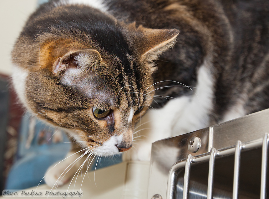 Oliver, a two year old male short-haired brown tabby and white cat, sniffs the corner of a cat cage at a rescue shelter.  Oliver likes to climb on top of the cages and explore who is in each one.  Oliver is a sweet cat who needs a home with no dogs and no kids.  Oliver is up for adoption at Miss Kitty's Rescue in Costa Mesa, CA.  This picture was taken pro bono for Miss Kitty's Rescue to help them advertise the cats for adoption.