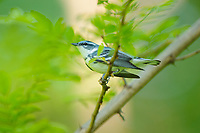 Adult male Cerulean Warbler (Dendroica cerulea) in breeding plumage in canopy. Cayuga County, New York. May