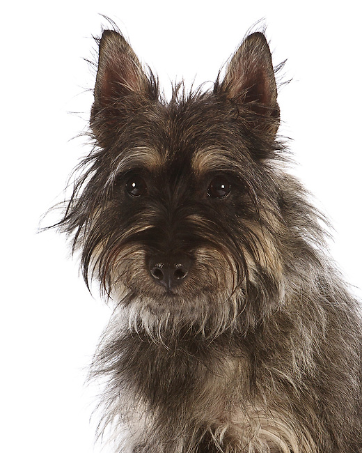 Avon Terrier