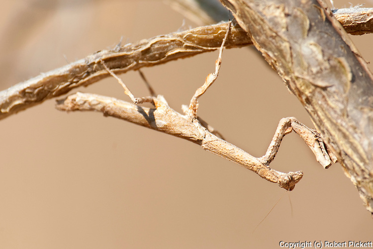 Praying mantis, Mantodea, Isalo National Park, Madagascar, camouflaged, cryptic, looking like a twig or branch, brown