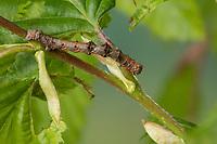 Schneespanner, Schnee-Spanner, Phigalia pilosaria, Apocheima pilosaria, pale brindled beauty, la Phalène velue, Phigalie velue, Phalène de l'aulne, Mimese, Tarnung, Tarntracht, Verbergetracht, Raupe imitiert das Aussehen eines Ästchen, Astmimese, Ästchenmimese, Ast-Mimese,  caterpillar, mimesis, camouflage, Spanner, Geometridae, looper, loopers, geometer moth, geometer moths, geometers