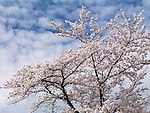 Cherry tree blossom over blue sky with white clouds background