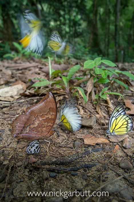 Aggregation of butterflies - mainly Bornean Sawtooth (Prioneris cornelia) and Red Brown Rajah (Charaxes bernardus) - taking minerals from damp area on rainforest floor. Temburong National Park, Brunei, Borneo.