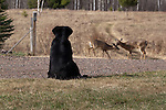 Black Lab watching white-tailed deer