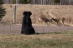 Black Lab watching white-tailed deer