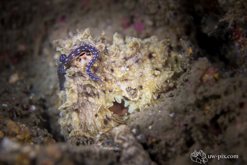 Reef octopus (Octopus cyanea) in the Lembeh Strait / Indonesia