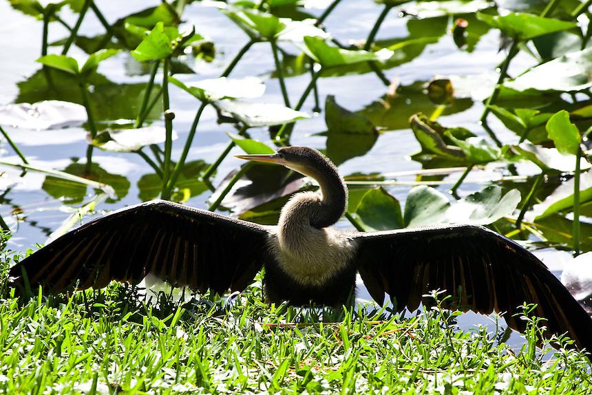 Anhinga, Morton Lake, Lakeland, Florida