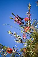 Belo Horizonte_MG, Brasil...Detalhe da flor esponjinha (calliandra tweediei) em Belo Horizonte...Detail of a flower esponjinha (calliandra tweediei) in Belo Horizonte...Foto: JOAO MARCOS ROSA / NITRO