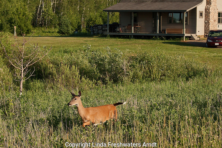 White-tailed doe walking in a field near a home