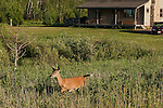 White-tailed doe walking in a field near a home