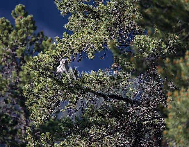 One of two great gray owlets photographed after they had fledged and were exploring nearby trees.A great gray owl photographed in Yellowstone's northeast corner.
