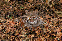 611000004 a captive bobcat felis rufus lies in fallen leaves animal is a wildlife rescue native to north america