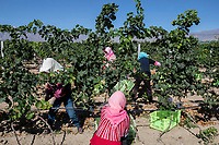 China - Ningxia - Seasonal workers harvesting the grapes at Helan Qingxue Vineyard. Located 5 kilometres from the foot of the Helan mountains, the Helan Qingxue Vineyard is one of the oldest and best wineries in Ningxia. Its cabernet sauvignon won the International Trophy at the 2011 Decanter World Wine Awards and was instrumental in giving exposure to the Ningxia wine industry. Helan Quinxue's wines are currently exported to Europe, Singapore and Macau.<br /> <br /> Thanks to its high altitude, arid soil and cool, dry weather, Ningxia has been identified by wine experts as potentially one of the best wine producing regions in the world. The dry weather pro-tects the vines from bacteria and diseases and allows a significant reduction in the use of pestici-des.<br /> <br /> All of the water irrigating Ningxia vineyards comes from the nearby Yellow River, one of China's main sources of freshwater. <br /> <br /> According to international sommeliers, Ningxia wine's specificities are found in its minerality, spi-ciness and floral taste.<br /> <br /> In order to survive the region's frigid winter temperatures, which can drop as low as -27 degrees Celsius, vines are buried in November and unburied in spring. Between 3 and 5 per cent of them perish during this process.