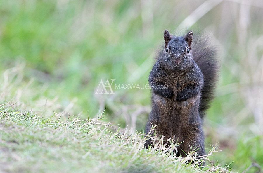 Black morph gray squirrels are found at Reifel Bird Sanctuary in BC.
