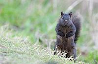 Black morph gray squirrels are found at Reifel Bird Sanctuary in BC.
