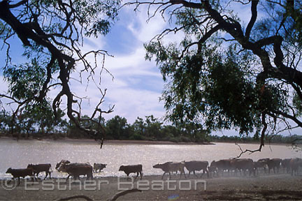 """Cattle going to Bulloo River to drink. """"Bulloo Downs"""" station, near Thargomindah, outback Queensland."""
