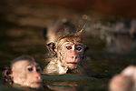 In a pool hidden above the Gal Vihara statues these toque macaque monkeys are playing. Swimming and play fighting in the water offers a respite from the heat of the day. Archaeological reserve, Polonnaruwa, Sri Lanka. IUCN Red List Classification: Endangered