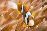 Great Barrier Reef, Australia; an orange-finned anemonefish swimming amongst it's host anemone