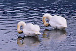 Pair of trumpeter swans with necks bent preening