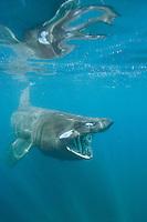 Basking shark (Cetorhinus maximus) filter feeding on plankton near the Lizard Peninsula, Cornwall.