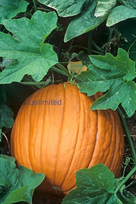 Pumpkin on the vine