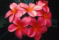 Pink plumeria, or frangipani (apocynacae), a fragrant blossom often used in lei-making